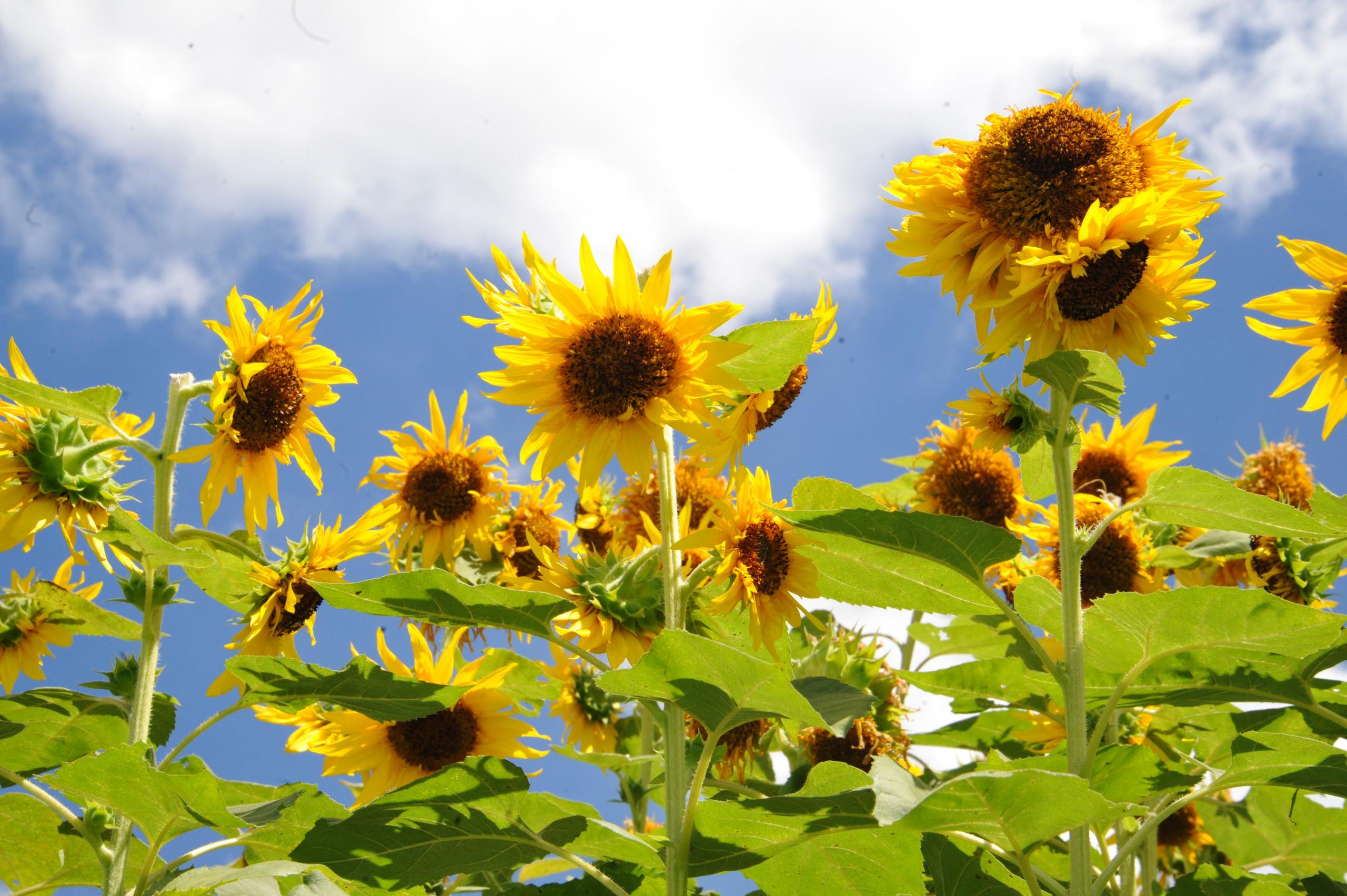 160730向日葵①